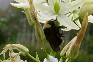 sleepy bee by Flickr user Jess Beemouse