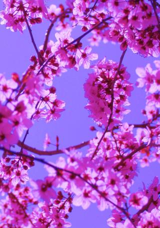 Free Colorful Spring Blossoms in Pink on Blue Sky Creative Commons by Flickr user Pink Sherbet Photography
